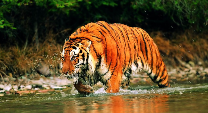 Bengal Tigers of the Sunderbans